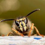 Invazia viespilor uriase. Cum scapam de ele?